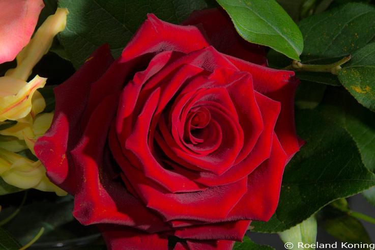 rozen oud lila